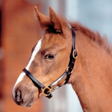 STAR Leather Halter for Foals